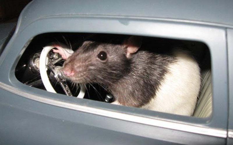 Image of a rodent in a toy car
