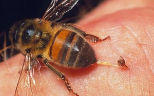 Image of a bee leaving stinger on skin