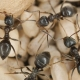 Image of black ants