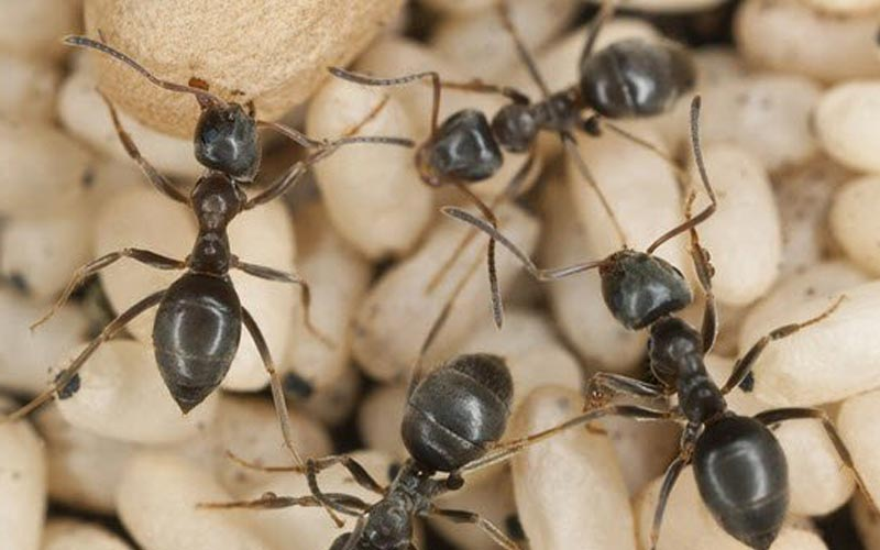 Image of black ants
