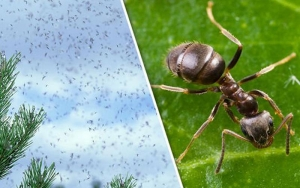 Image of flying ants on the left and a close-up of an ant on the right