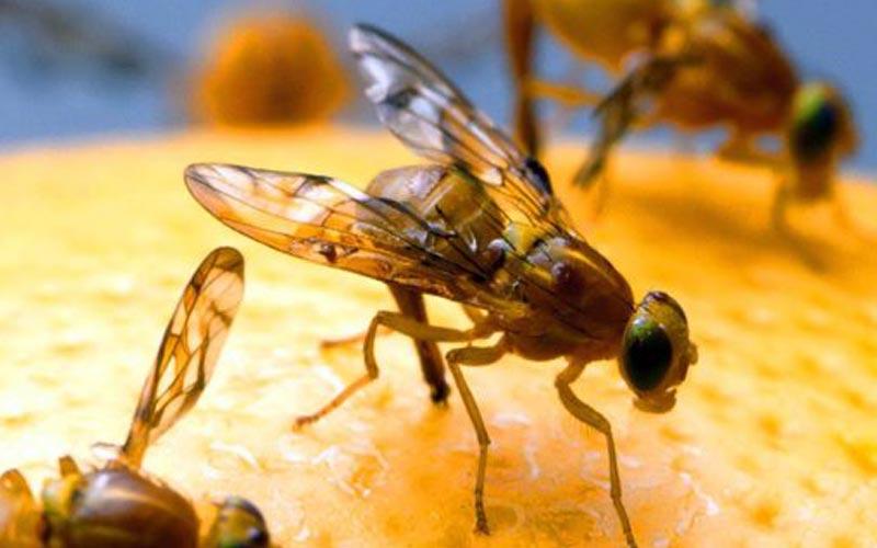 Image of fruit flies on an orange