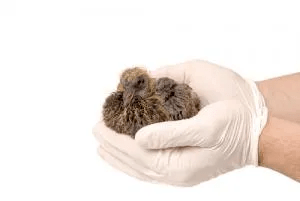 Image of gloved hands holding a nest of birds