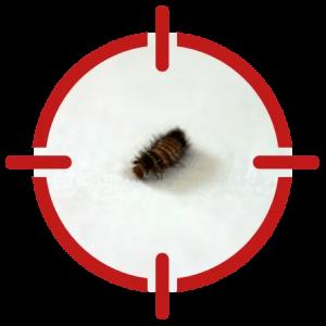Image of a carpet beetle
