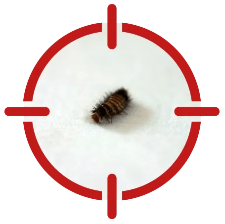 Image of a carpet beetle