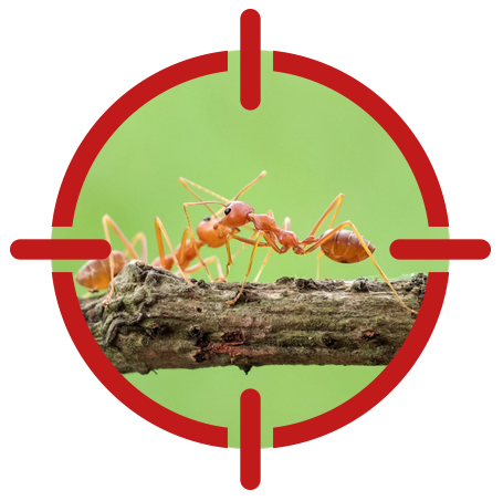 Image of fire ants