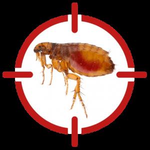 Image of a flea