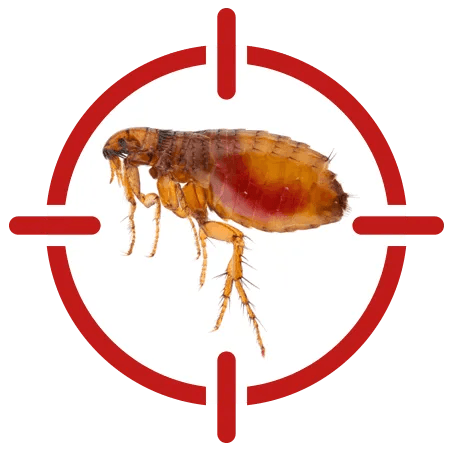 Image of a flea