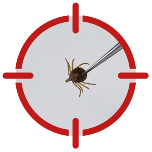 Image of a louse