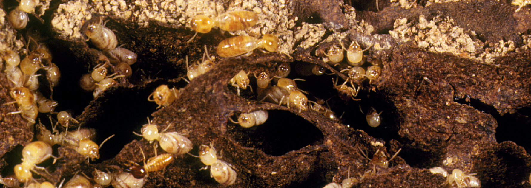 Termites attacking wood