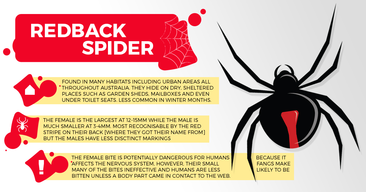 Image of redback spider infographic