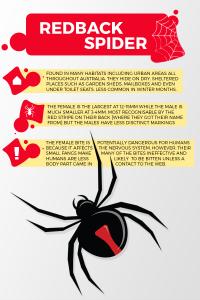 Image of redback spider info