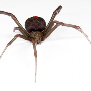 Image of red back spider