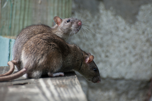 Image of two rats