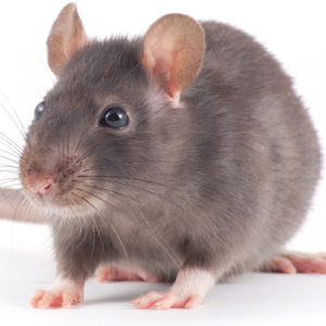 Image of house rat