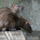 Image of rats